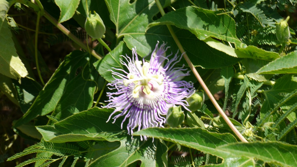 Passionflower blossom. Dose well in the Texas heat, covering a fence and genning up an area in a hurry. Besides the delightful flowers, the fruit that follows has an edible seed membrane.