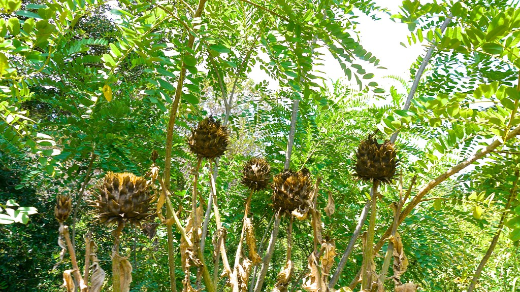 The spring Artichoke seed heads standing gaurd over the other plants.