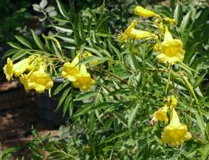 Yellow Bells Blossoms