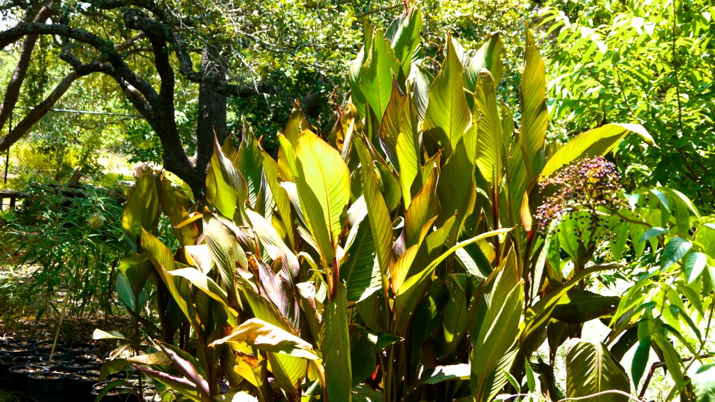 Canna Indicta or Indian Shot is often used as an ornamental and it also produces edible tubers.