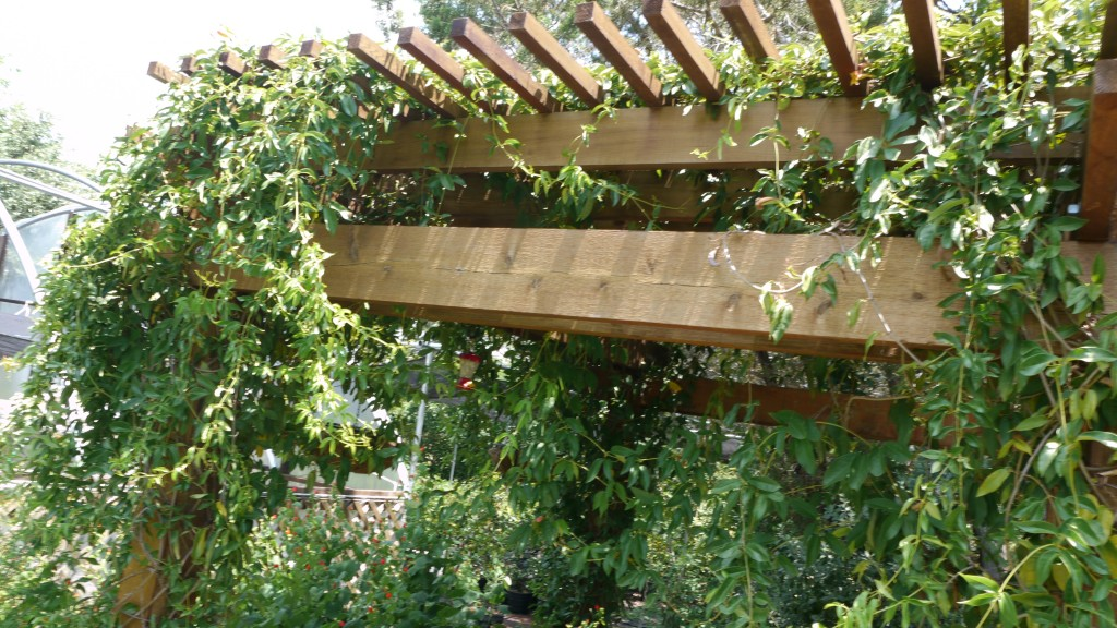 Pergola, Covered in Cross Vine