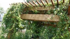 Pergola, Covered in Cross Vine
