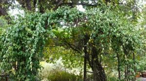 Vines across the path