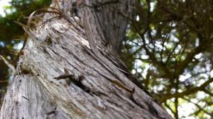 Ash Juniper bark