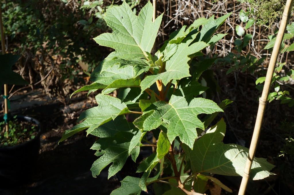 Hydrangea, Oak Leaf