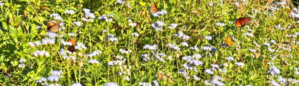 Monarchs love natives