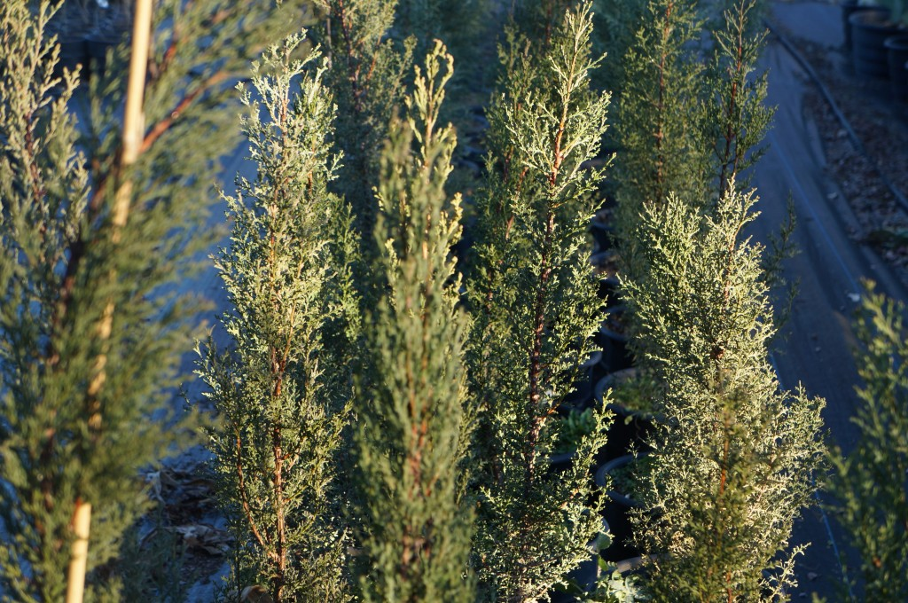 Arizona Cypress, evergreen, drought & heat tolerant, fast growth.