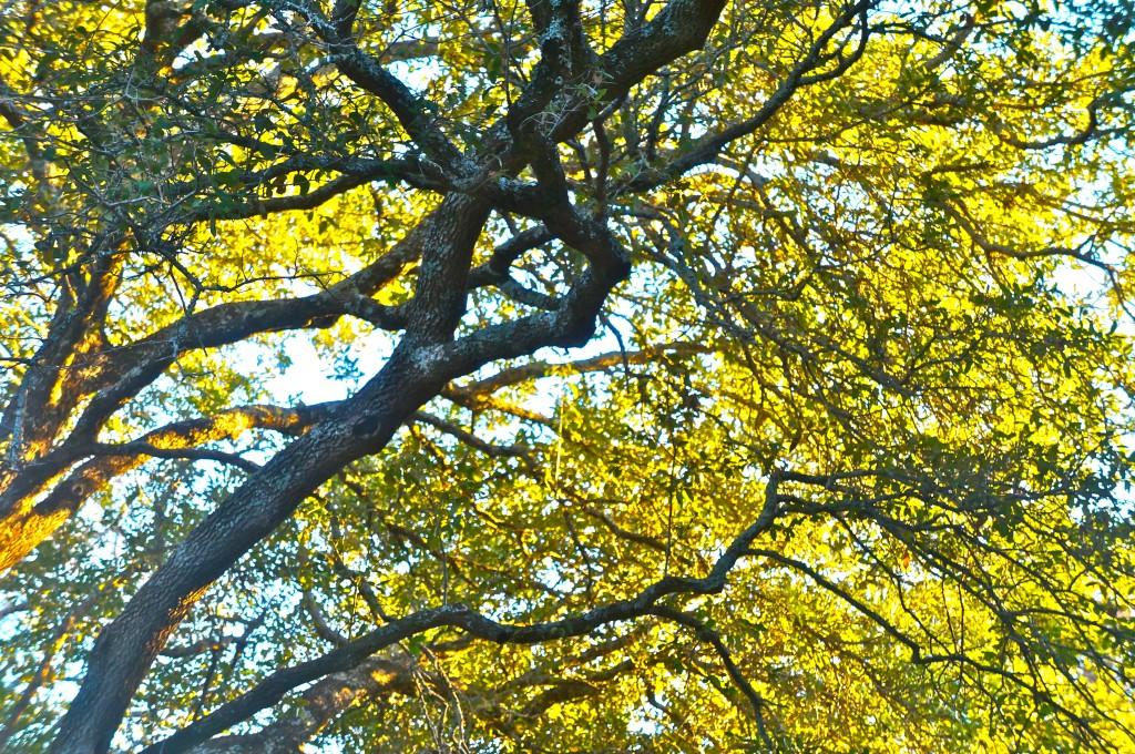 Fast Growing Trees San Antonio Tyres2c