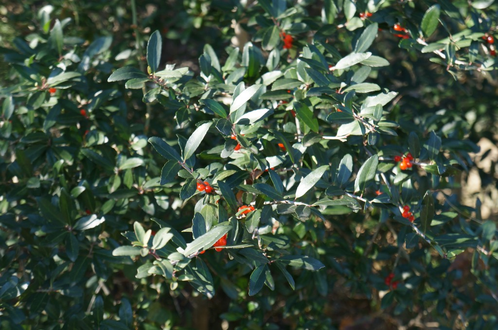Yaupon Holly with berries on.