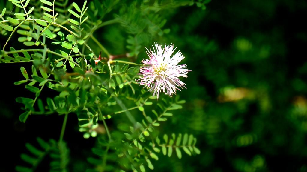 Fragrant Mimosa Flower