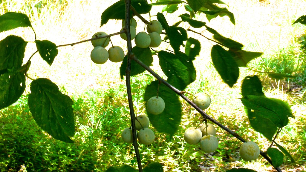 Mexican Plums