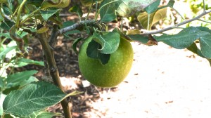 Our first home grown Granny Smith Apple