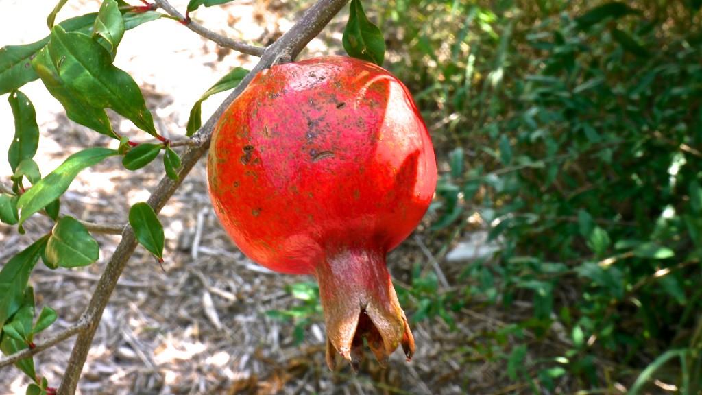 Pomegranite in the Forest Garden