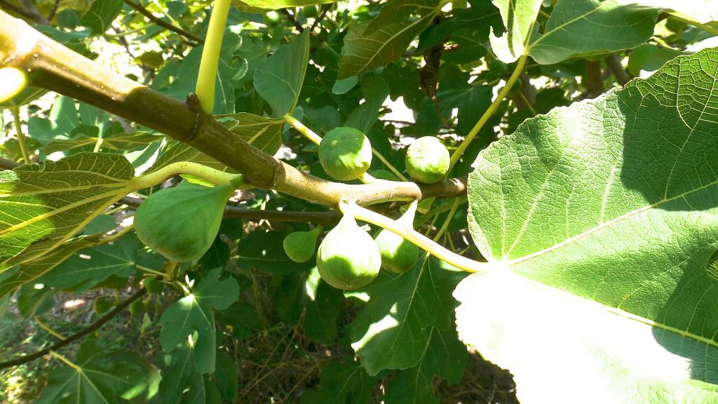 Green Ischa Figs
