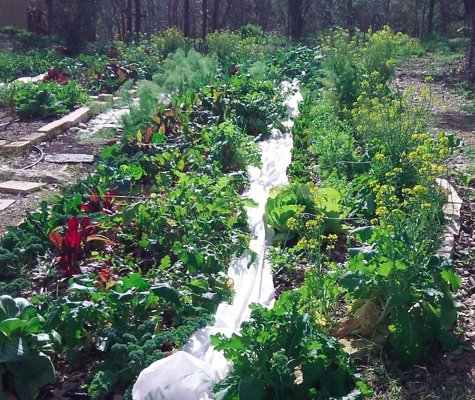Organic vegetables growing in the heart of Austin Texas