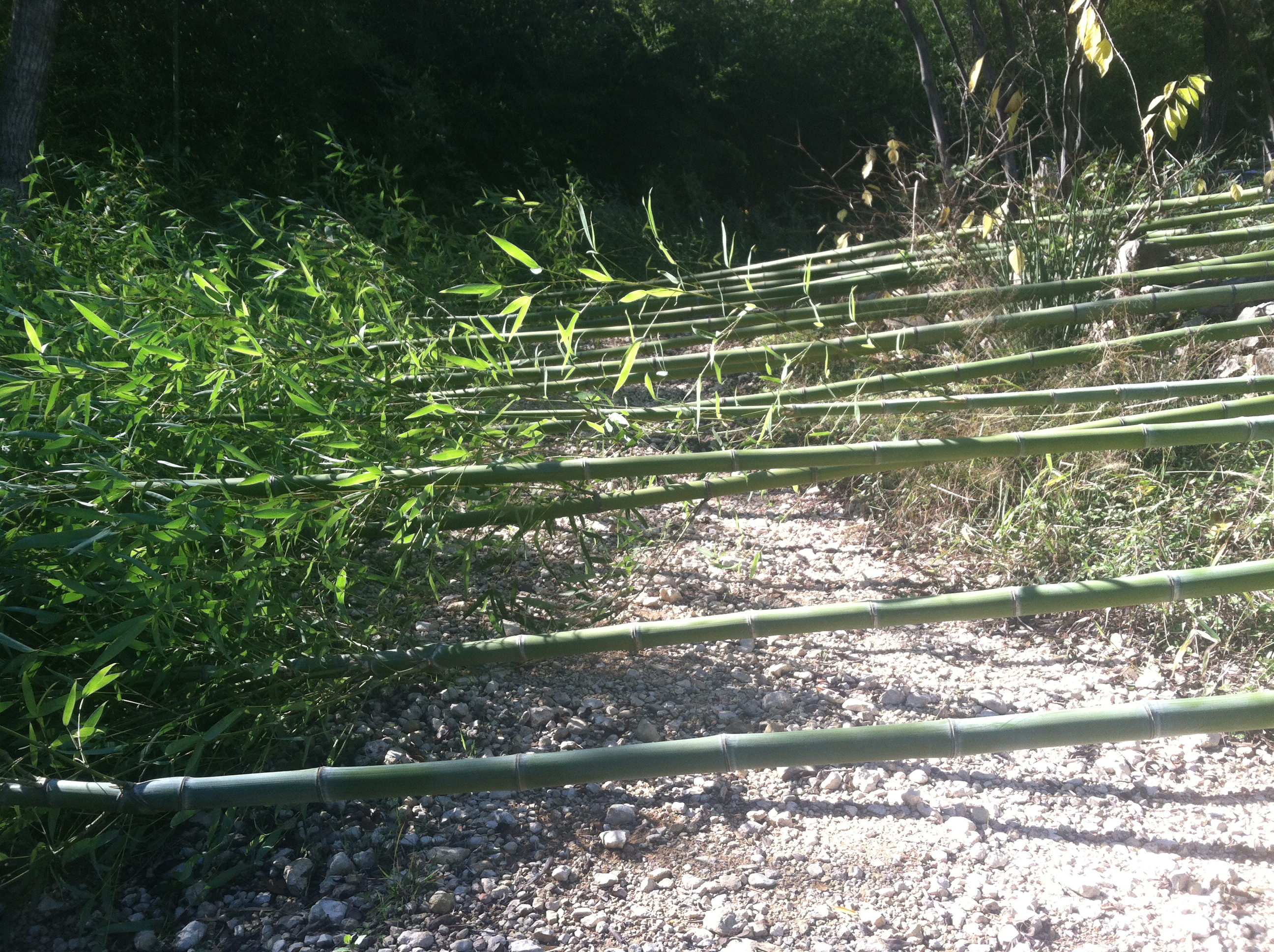Harvesting bamboo locally to build sustainable fencing for livestock.