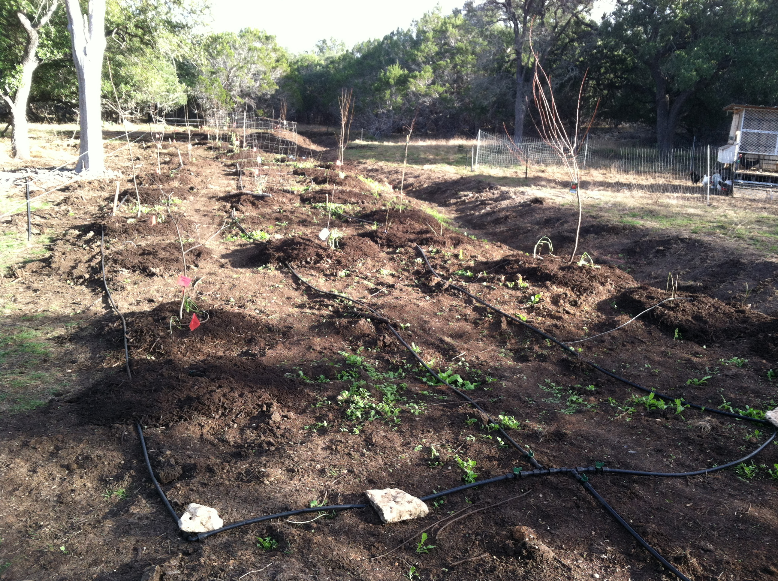 A new Food Forest Planting 20 miles north of San Antonio. We designed and installed a system including 29 Fruit trees, 30 thornless blackberries, 30 aspargus, a multifunctional cover crop seeding, soil amendments and timed drip irrigation. All installed on a large berm that will passively in soak rain water runoff, prevent erosion and help to rehydrate the land scape. Check back in the spring & summer to see an updated photo of how this system grows in.